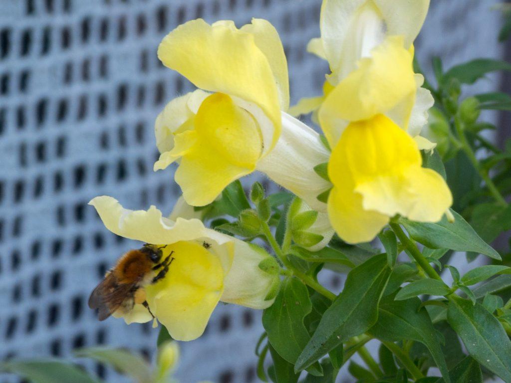 Une abeille visite le muflier - Un Jour de Neige
