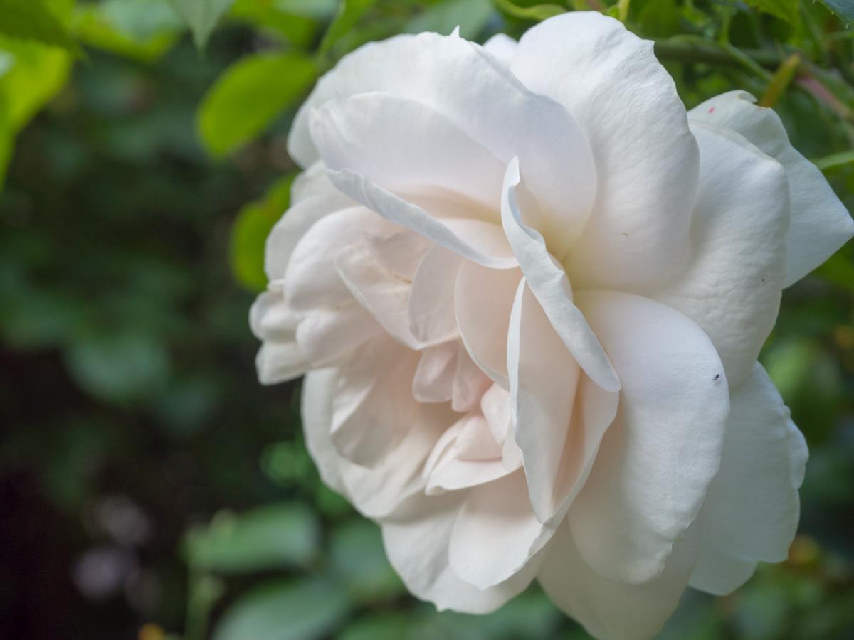 Un Jour de Neige - Une dernière rose #rose #rosier