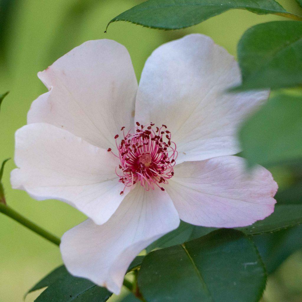 Une rose Astronomia - Un Jour de Neige
