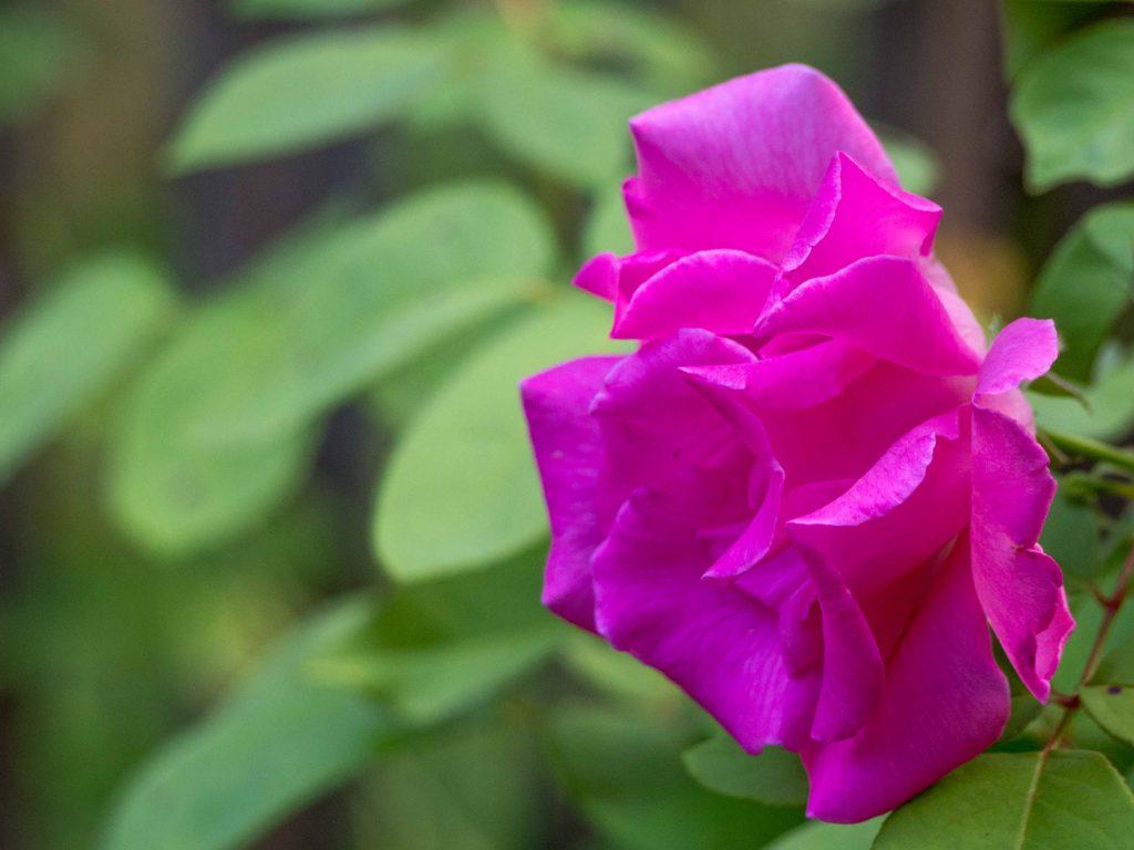 Une rose Zephirine Drouin - Un Jour de Neige