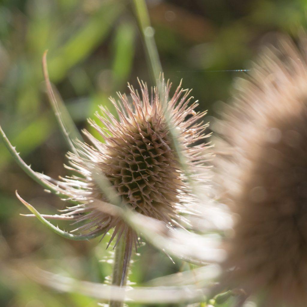 Un Jour de Neige - Carnet d'Amérique - Fleur de chardon