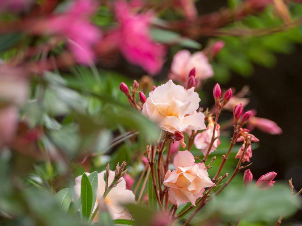 Défis photo en vacances - une haie fleurie