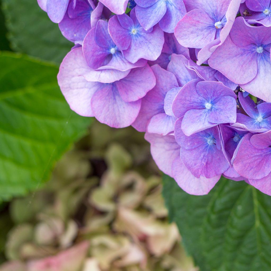 Défis photo en vacances - Défi no 49 : le cadrage en coin - hortensia