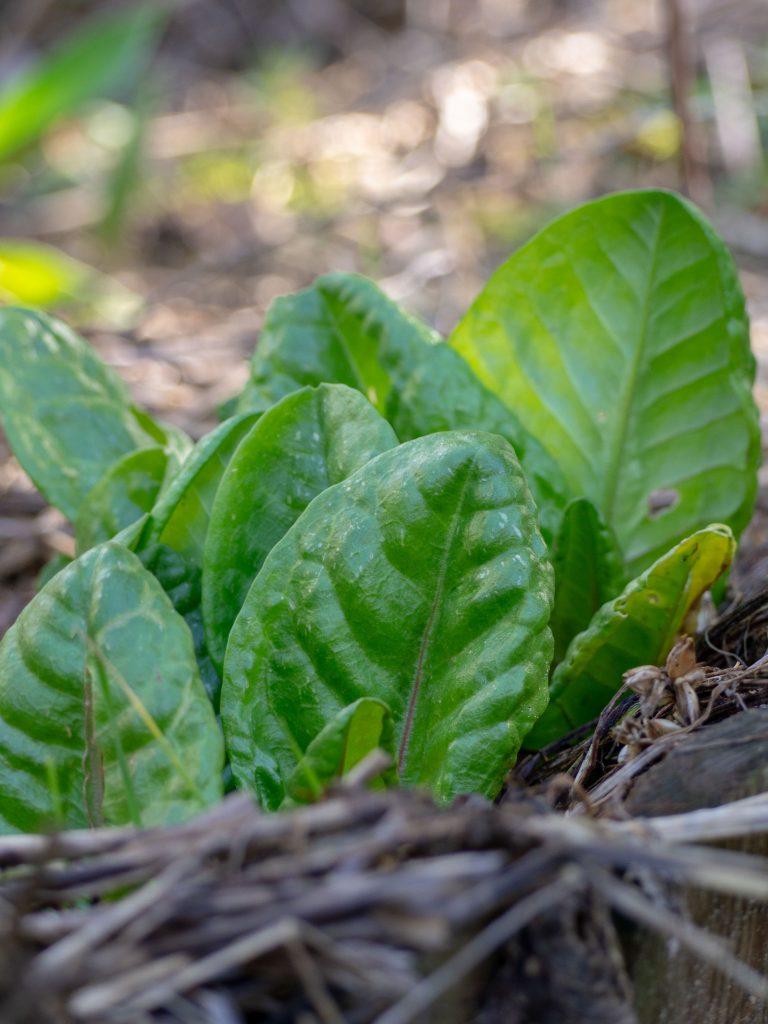 Un Jour de Neige - Premières feuilles d'oseille