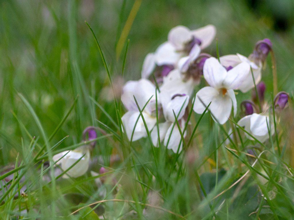 Un Jour de Neige - Des violettes de toutes les couleurs