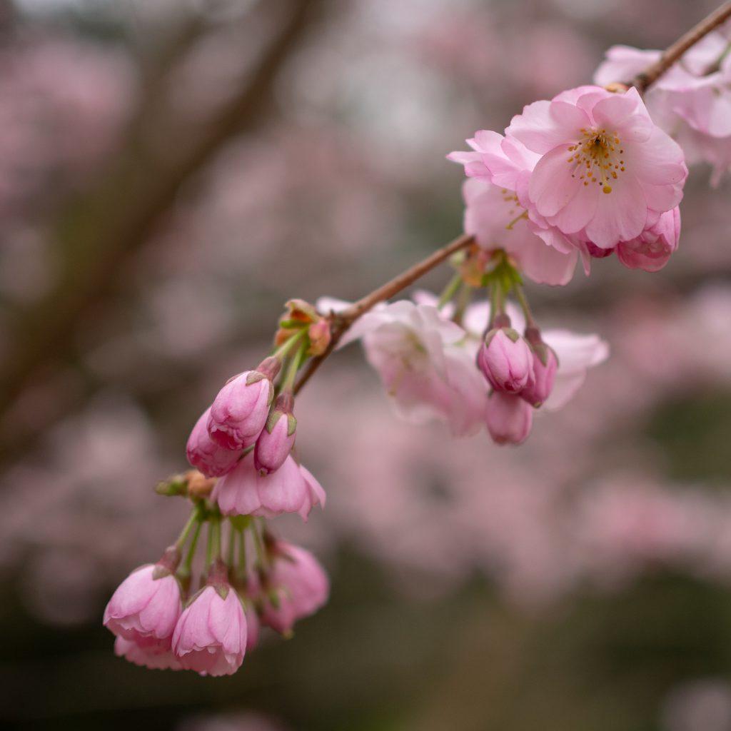 Un Jour de Neige - Cerisier du Japon