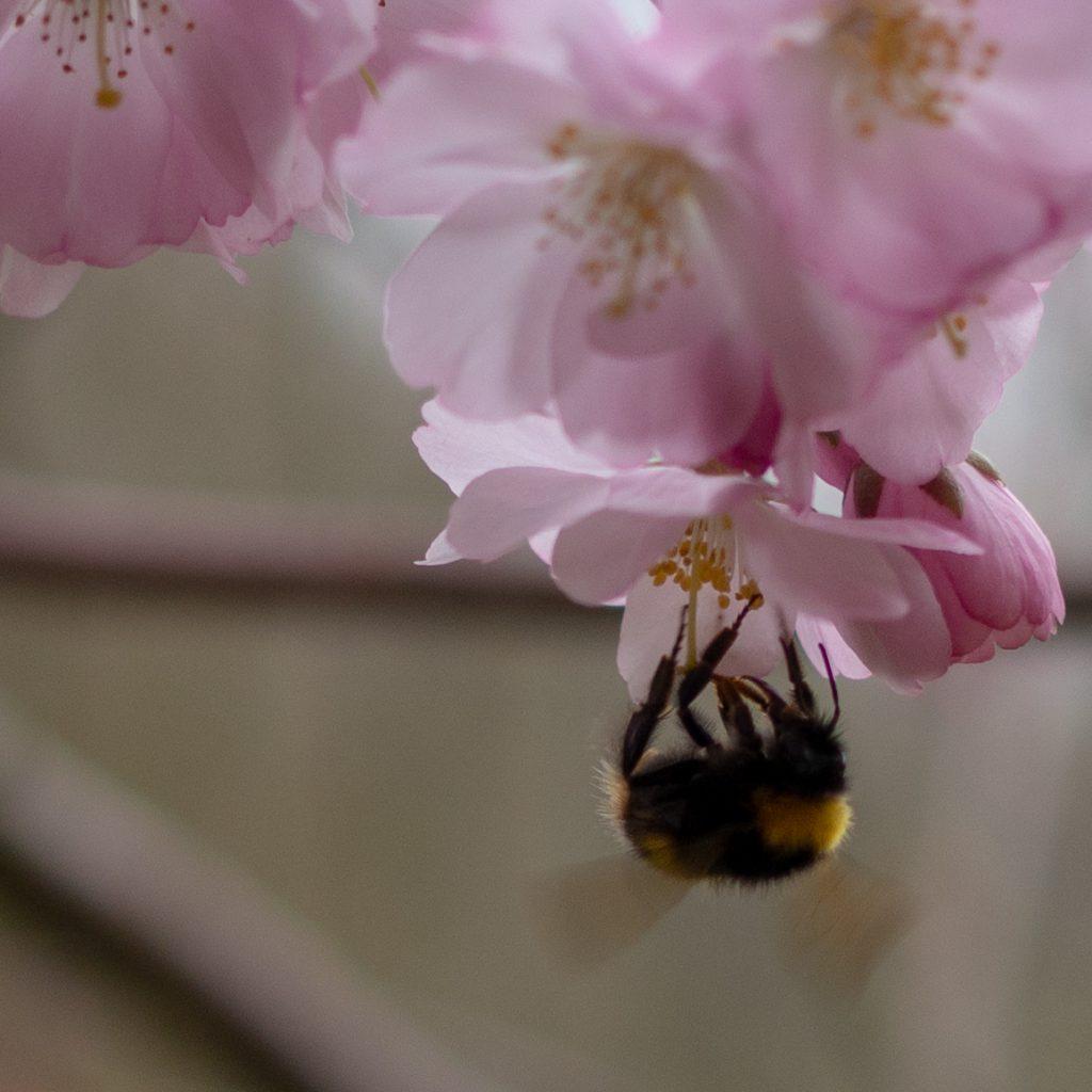 Un Jour de Neige - Un bourdon butine les fleurs du cerisier