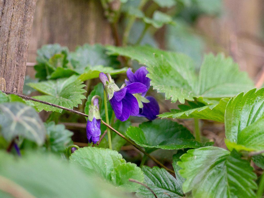 Un Jour de Neige - Violettes