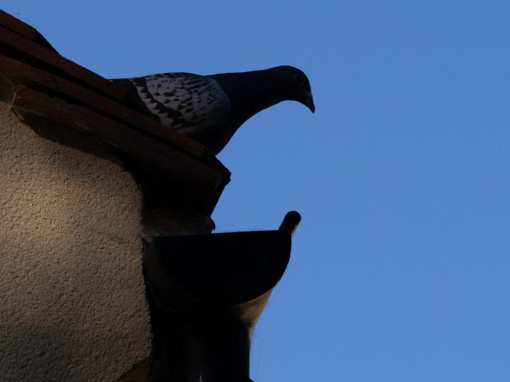 Petit carnet du dimanche - Pigeon