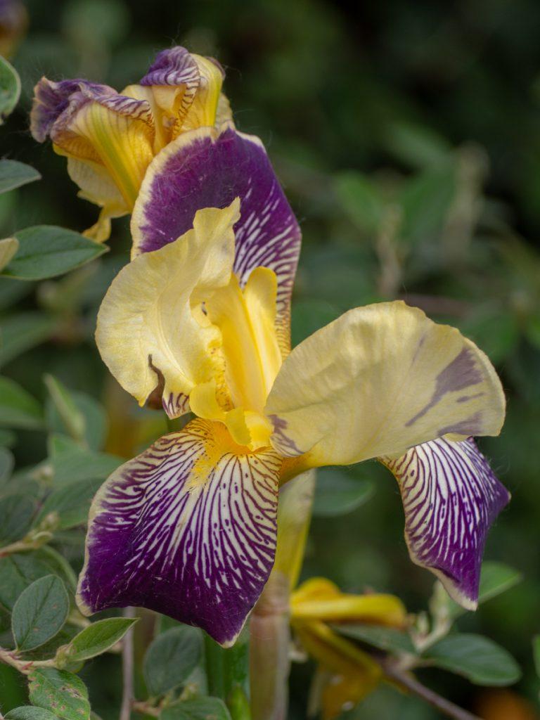 Petit carnet du dimanche - iris