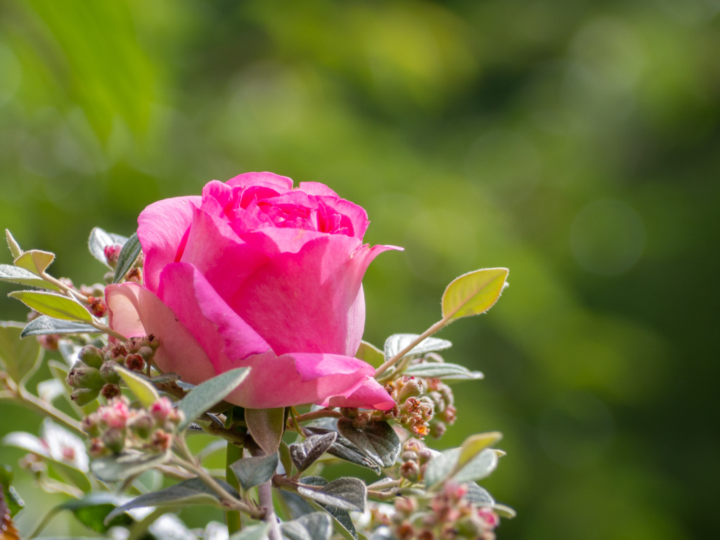 Rose The Generous Gardener (Un Jour de Neige - Carnet du dimanche)