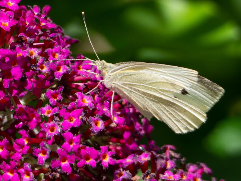 Papillon & buddleia (Un Jour de Neige - Carnet du dimanche)